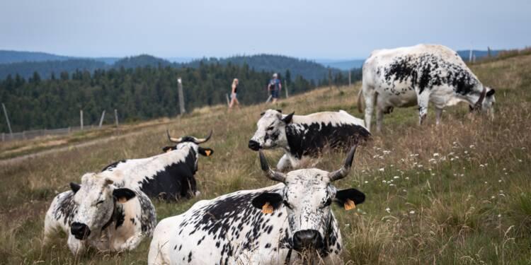 Même sur les crêtes, la rustique vache vosgienne souffre de la canicule