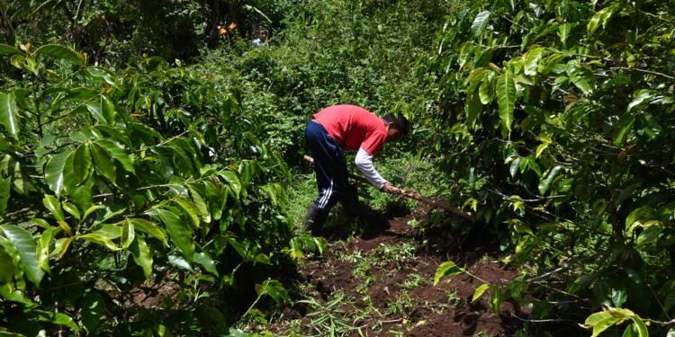 Guatemala : des petits planteurs de café songent à repartir aux Etats-Unis