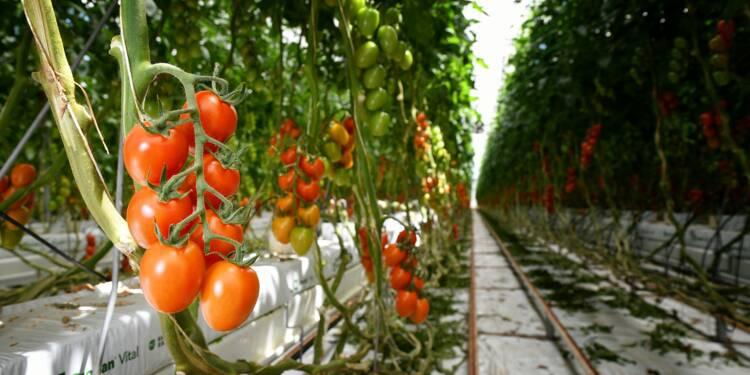 """En Italie, une ferme hydroponique parie sur """"l'or rouge"""""""