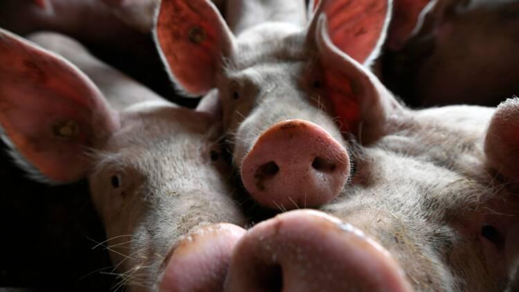 Les Philippines confirment de premiers cas de peste porcine