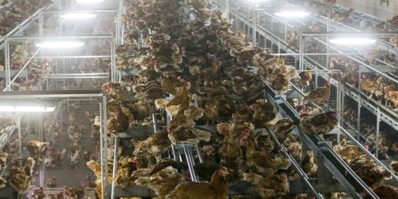 Un foyer de grippe aviaire détecté aux Pays-Bas