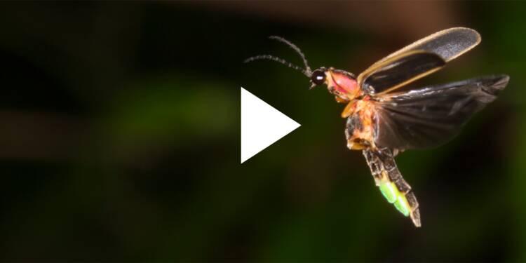 VIDEO: Voici pourquoi les lucioles brillent dans la nuit
