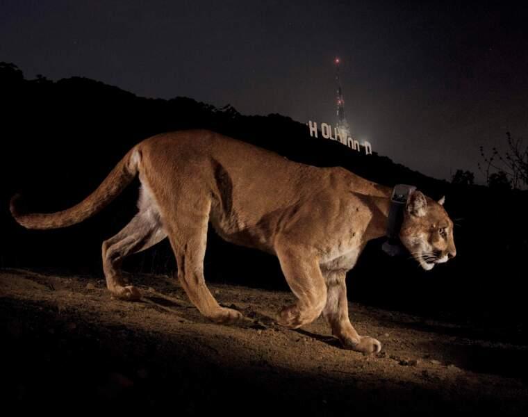 Un puma mâle, capté par une caméra cachée, à Los Angeles