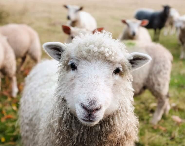 Des hybrides homme-mouton pour produire des greffons