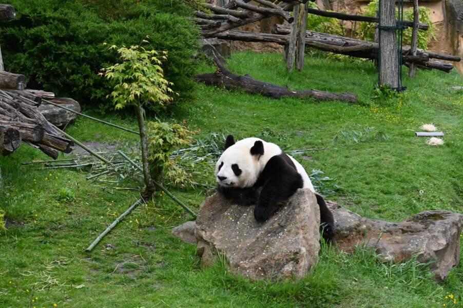 Panda, star du zoo