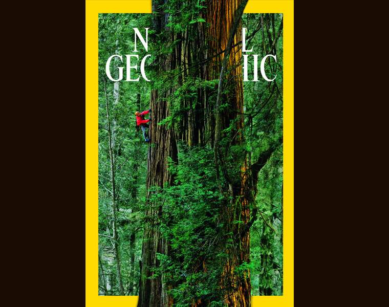 Près de 100 mètres de haut pour un arbre millénaire