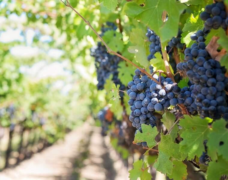Fini le traitement chimique des vignes !