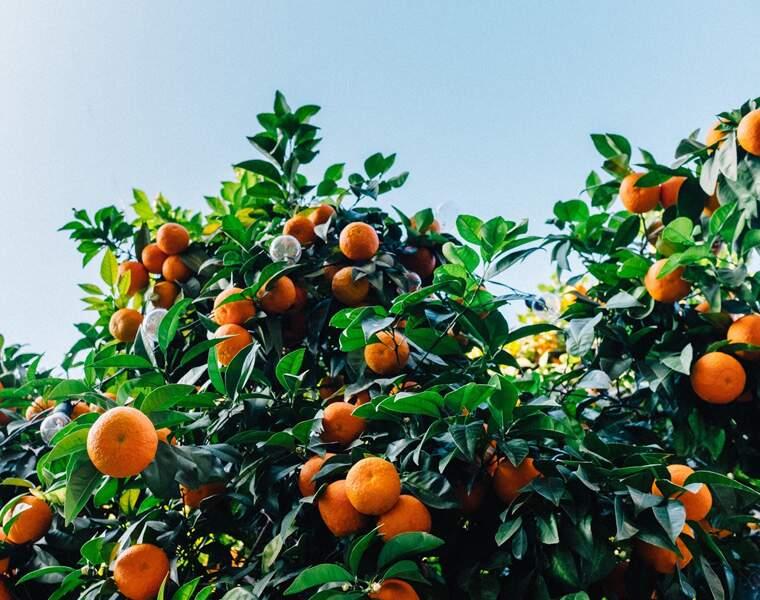 De nouvelles variétés de fruits compatibles avec l'agriculture bio