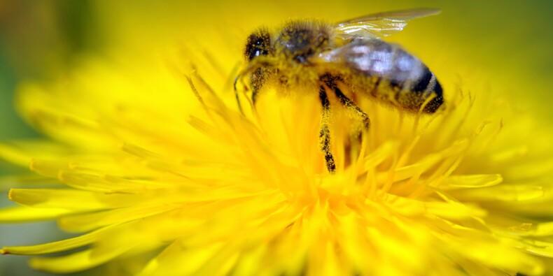 Pesticides: l'UE décide d'interdire des néonicotinoïdes dangereux pour les abeilles