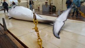 Chasse à la baleine: le Japon tue 333 cétacés dans l'Antarctique
