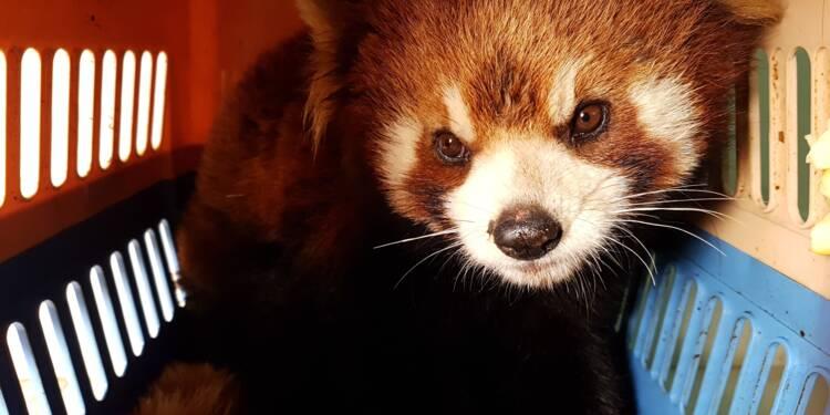 Les pandas roux, nouvelles cibles des braconniers en Asie