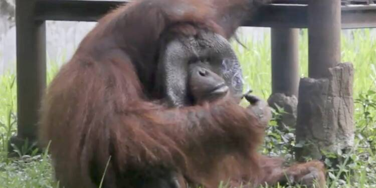 En Indonésie, un orang-outan fumeur