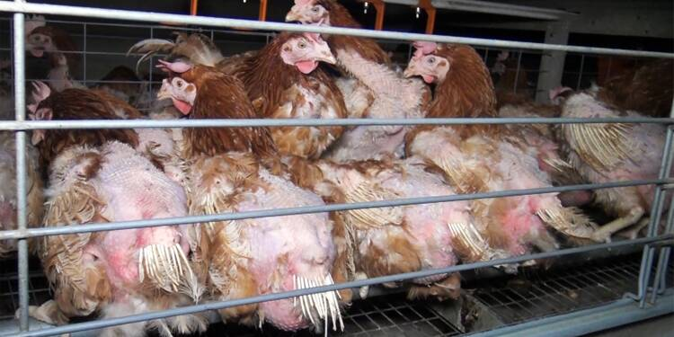 Oeuf: L214 demande l'interdiction de tout élevage en batterie d'ici à 2025