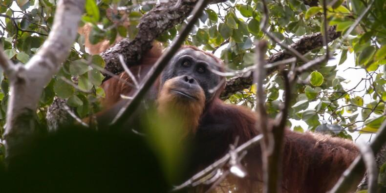 En Indonésie, une espèce rare d'orang-outan menacée par un barrage
