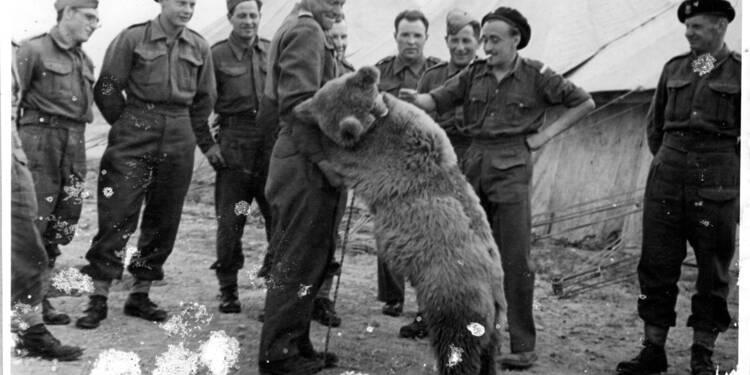 """Un vrai """"ours soldat"""" de la 2e Guerre mondiale héros d'un dessin animé"""