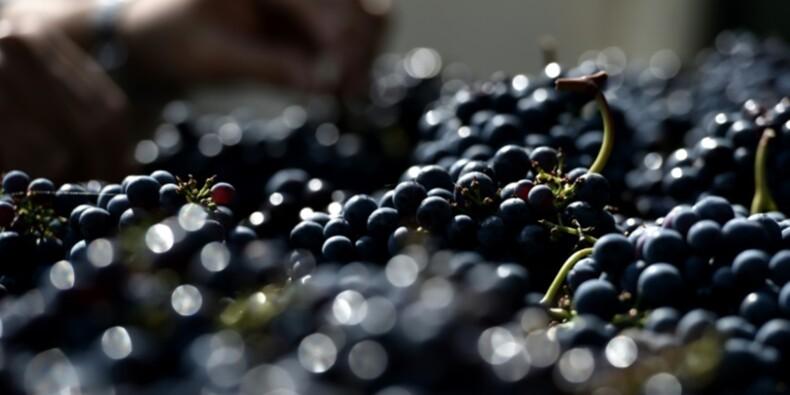 Viticulture: après le gel, vendanges aigres douces dans le Chinonais