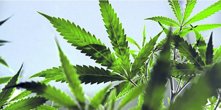 Cannabis business, de l'or vert en barrettes