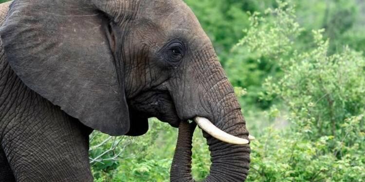 L'Afrique australe relance le débat sur le commerce de l'ivoire