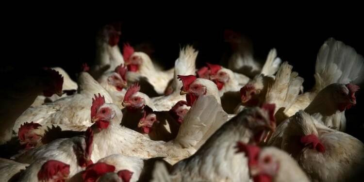 Des traces de grippe aviaire dans un élevage du Nord