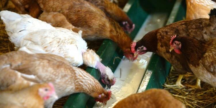 Le poulet de chair français ne fait pas le poids face aux Européens