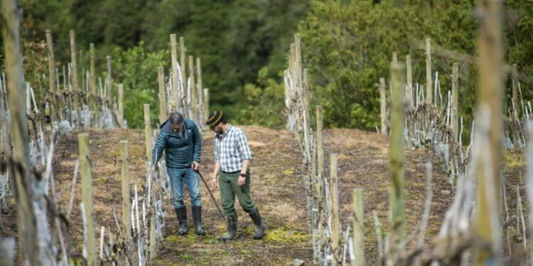 La planète se réchauffe: même la Patagonie chilienne produit du vin