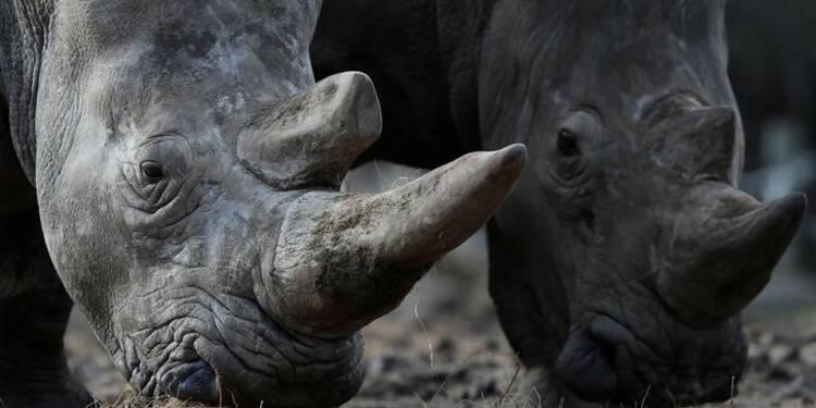 Un rhinocéros abattu à Thoiry, sa corne sciée