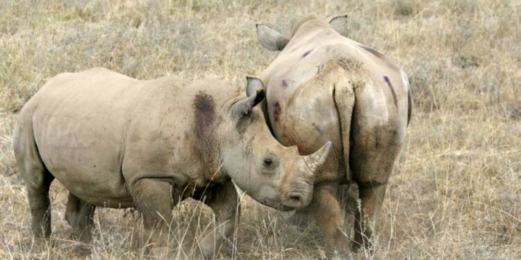 Sigfox connecte les rhinocéros d'Afrique pour mieux les protéger
