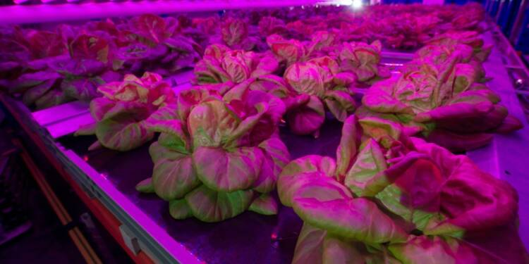 Des salades cultivées en Belgique sur étagère et sous lampe