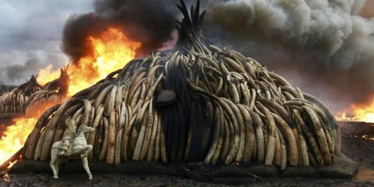 Le commerce international de l'ivoire reste interdit, mais le débat persiste