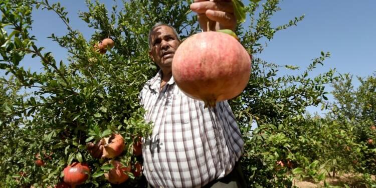 En Tunisie, à Testour, la grenade c'est bon pour la santé... et pour l'économie