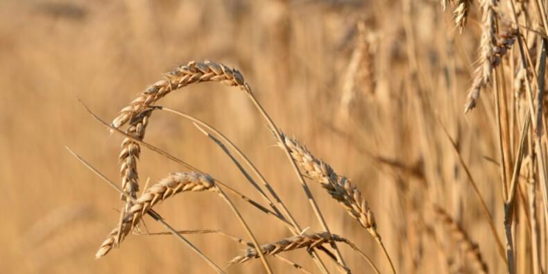 En Australie, la production de blé au sommet mais les céréaliers ne sont pas à la fête