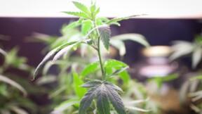 Le cannabis, l'autre vainqueur des élections américaines