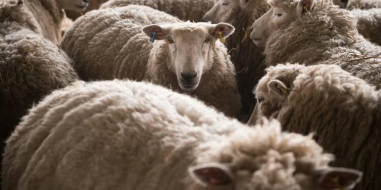 Chez les éleveurs de brebis français, la peur du Brexit