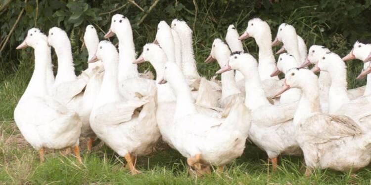 Grippe aviaire: les éleveurs de canards pris à la gorge