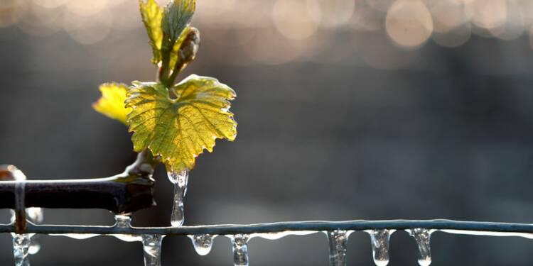 Le vignoble bordelais pourrait perdre 50% de sa récolte par le gel