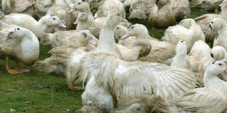 Grippe aviaire: dans le Gers, des éleveurs dans l'incertitude