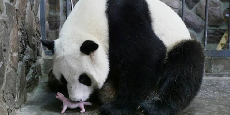 Naissance d'un panda géant en Belgique