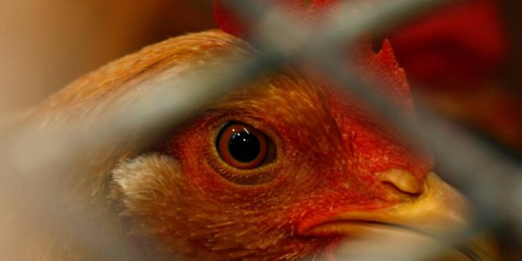 Deux nouveaux cas de grippe aviaire dans des élevages français