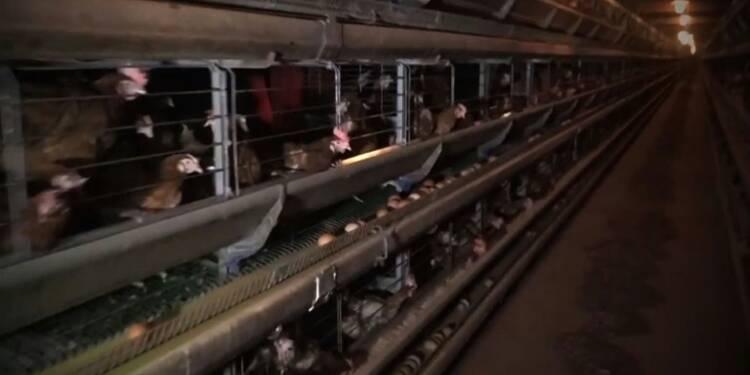 Poules: après la vidéo de L214, l'élevage de l'Ain sera vidé