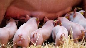 Nouvelles aides de la région Bretagne pour la filière porcine