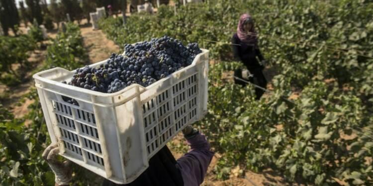 En plein renouveau, le vin égyptien vise l'export