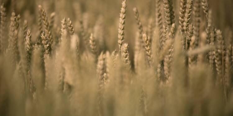Agriculture: blé et maïs commencent à prendre goût au bio