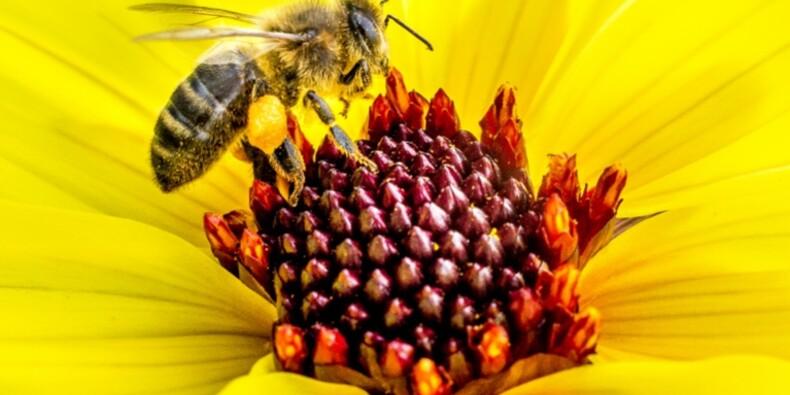 Plus de 600.000 signatures pour interdire des insecticides nocifs pour les abeilles