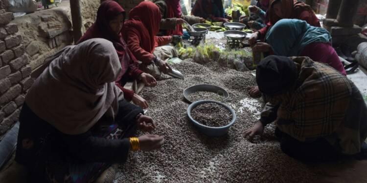 Les pistaches d'Afghanistan, or vert convoité des talibans