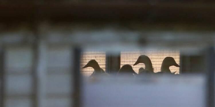 Les souches de grippe aviaire en France jugées non dangereuses