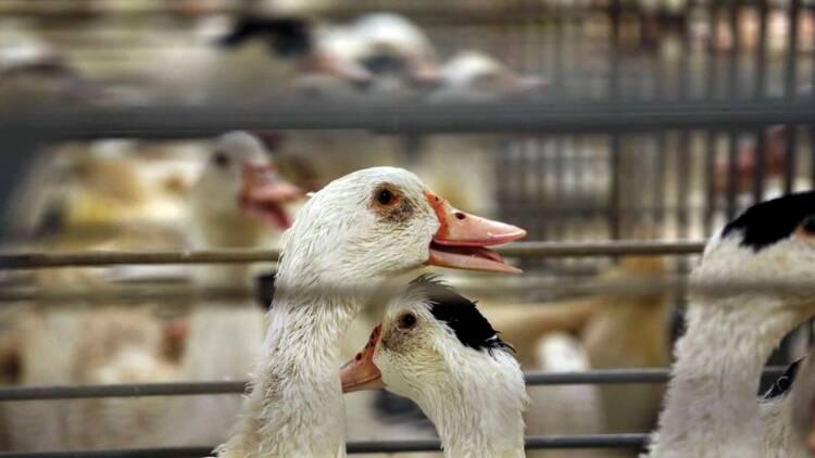 La zone de restriction grippe aviaire élargie