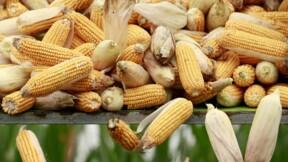 Le maïs OGM MON810 de Monsanto reste interdit en France