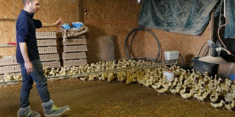 Pause dans la production de canards et d'oies face à la grippe