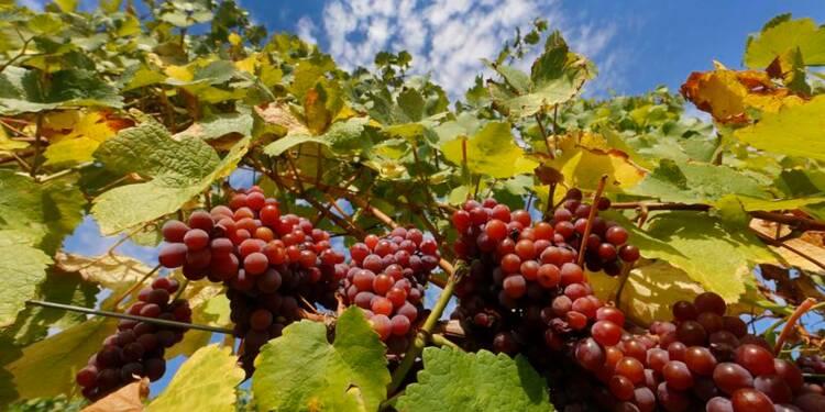 La viticulture peut s'adapter au changement climatique