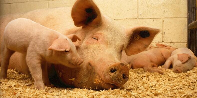 Zoom sur l'élevage de porcs, la viande préférée des Français